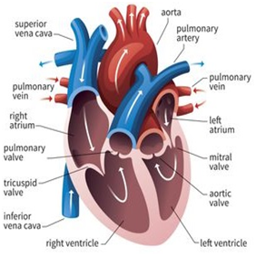 HeartValveReplacement01